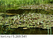 Кувшинки. Стоковое фото, фотограф Инна Горохова / Фотобанк Лори