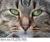 Купить «Морда полосатого кота крупным планом», фото № 5270765, снято 29 июня 2010 г. (c) Светлана Ильева (Иванова) / Фотобанк Лори