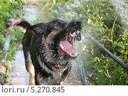 Собака играет с струёй воды. Стоковое фото, фотограф Денис Король / Фотобанк Лори