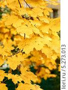 Купить «Желтые кленовые листья в осеннем парке», фото № 5273013, снято 11 октября 2013 г. (c) Иван Бондаренко / Фотобанк Лори