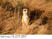 Сурикат в траве. Стоковое фото, фотограф P.S Mett~ / Фотобанк Лори