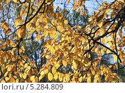 Купить «Вяз или Ильм (Ulmus)», эксклюзивное фото № 5284809, снято 13 октября 2013 г. (c) Алёшина Оксана / Фотобанк Лори