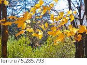 Листья клёна остролистного (лат. Acer platanoides) на ветру, эксклюзивное фото № 5285793, снято 13 октября 2013 г. (c) Алёшина Оксана / Фотобанк Лори