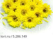Желтые хризантемы на белом фоне. Стоковое фото, фотограф Наталья Лихащенко / Фотобанк Лори