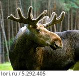 Купить «Лось в лесу», фото № 5292405, снято 11 июля 2010 г. (c) Эдуард Кислинский / Фотобанк Лори