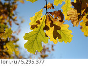 Осенние дубовые листья. Стоковое фото, фотограф Алексей Шуляков / Фотобанк Лори