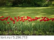 Красные тюльпаны. Стоковое фото, фотограф Елена Мумрина / Фотобанк Лори