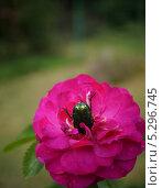 Жук нырнул в цветок. Стоковое фото, фотограф Елена Мумрина / Фотобанк Лори