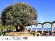Старое дерево на берегу моря (2012 год). Стоковое фото, фотограф Жанна / Фотобанк Лори