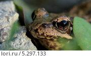 Купить «Лягушка крупным планом», видеоролик № 5297133, снято 23 ноября 2013 г. (c) Виктор Тихонов / Фотобанк Лори