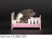 Купить «Два крысенка в игрушечной кроватке на белом фоне», фото № 5300725, снято 26 марта 2013 г. (c) Argument / Фотобанк Лори