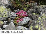 Красные цветы в камнях, покрытых мхом. Стоковое фото, фотограф Ислам Ижаев / Фотобанк Лори
