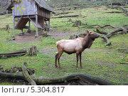 Купить «Олень в зоопарке. Прага», фото № 5304817, снято 20 июля 2019 г. (c) Илюхин Илья / Фотобанк Лори