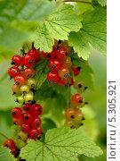 Красная смородина. Стоковое фото, фотограф Ульяна Хорунжа / Фотобанк Лори