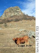 Купить «Корова на горном склоне с сухой травой», фото № 5312153, снято 22 ноября 2013 г. (c) Игорь Веснинов / Фотобанк Лори