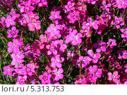 Гвоздика травянка (Diánthus deltoídes) Стоковое фото, фотограф Титова Елена / Фотобанк Лори