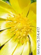 Купить «Желтый цветок анемона крупным планом», фото № 5314417, снято 12 апреля 2012 г. (c) Александр Куличенко / Фотобанк Лори