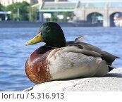Купить «Селезень на берегу Москвы-реки», эксклюзивное фото № 5316913, снято 30 мая 2011 г. (c) lana1501 / Фотобанк Лори