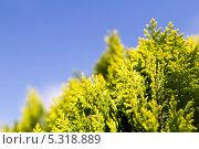 Купить «Можжевельник на фоне синего неба», фото № 5318889, снято 3 июля 2013 г. (c) Евгений Ткачёв / Фотобанк Лори