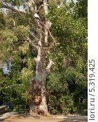 Эвкалипт прутовидный (Еucalyptus viminalis ) Стоковое фото, фотограф Ирина Борсученко / Фотобанк Лори