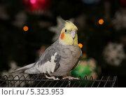 Купить «Попугай корелла на фоне новогодней ёлки», эксклюзивное фото № 5323953, снято 7 января 2013 г. (c) Dmitry29 / Фотобанк Лори