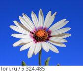 Белый цветок календулы на голубом фоне. Стоковое фото, фотограф Юлия Фомичева / Фотобанк Лори