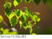 Молодые листья березы под солнечным светом. Стоковое фото, фотограф Лукманов Виталий / Фотобанк Лори
