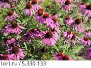 Купить «Цветение эхинацеи пурпурной», эксклюзивное фото № 5330133, снято 17 августа 2013 г. (c) Наташа Антонова / Фотобанк Лори
