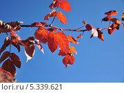Оранжевые листья на фоне неба. Стоковое фото, фотограф Екатерина Воронкова / Фотобанк Лори