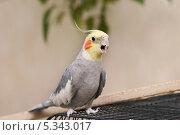 Попугай корелла с открытым клювом. Стоковое фото, фотограф Dmitry29 / Фотобанк Лори