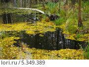 Купить «Осеннее половодье в лесу», фото № 5349389, снято 11 октября 2013 г. (c) Александр Романов / Фотобанк Лори