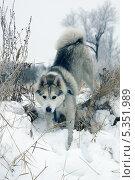 Купить «Сибирский хаски», фото № 5351989, снято 15 июля 2013 г. (c) макаров виктор / Фотобанк Лори
