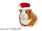 Купить «Морская свинка в шапочке Санта Клауса на белом фоне», фото № 5353297, снято 26 июня 2019 г. (c) Ковалев Василий / Фотобанк Лори