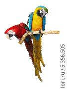 Купить «Два попугая сидят на ветке», фото № 5356505, снято 17 августа 2018 г. (c) Владимир Красюк / Фотобанк Лори