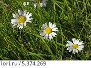 Купить «Нивяник (лат. Leucanthemum)», фото № 5374269, снято 24 июля 2013 г. (c) Александр Романов / Фотобанк Лори