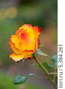 Красивая роза в саду. Стоковое фото, фотограф Татьяна Кахилл / Фотобанк Лори