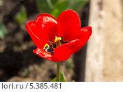 Тюльпан. Стоковое фото, фотограф Александр Первунин / Фотобанк Лори