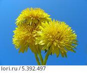 Купить «Желтые одуванчики (лат. Taraxacum)», эксклюзивное фото № 5392497, снято 12 мая 2010 г. (c) lana1501 / Фотобанк Лори