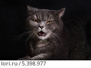 Купить «Злой, оскалившийся серый кот на черном фоне», фото № 5398977, снято 17 декабря 2013 г. (c) Наталия Евмененко / Фотобанк Лори