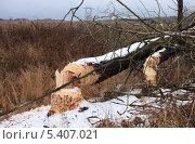 Бобры повалили деревья. Стоковое фото, фотограф Алексей Горбунов / Фотобанк Лори