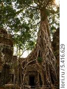 Огромное дерево, растущее на руинах храма Та Пром (2013 год). Стоковое фото, фотограф Юлия Бабкина / Фотобанк Лори