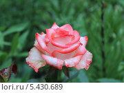 Купить «Роса на цветке нежно розовой розы», фото № 5430689, снято 5 июня 2013 г. (c) Иван Тимофеев / Фотобанк Лори