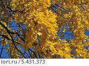 Купить «Желтые осенние листья клена на фоне синего неба», эксклюзивное фото № 5431373, снято 13 октября 2013 г. (c) lana1501 / Фотобанк Лори