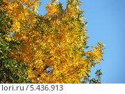 Купить «Желтые осенние листья на фоне синего ясного неба», эксклюзивное фото № 5436913, снято 18 сентября 2011 г. (c) lana1501 / Фотобанк Лори