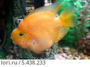 Купить «Рыба-попугай крупным планом», фото № 5438233, снято 14 августа 2013 г. (c) Евгений Ткачёв / Фотобанк Лори