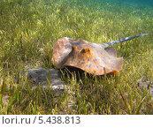 Скат-хвостокол (Taeniura lymma) под водой. Стоковое фото, фотограф Владимир Киликовский / Фотобанк Лори