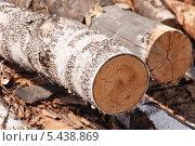 Купить «Спил ствола берёзы», фото № 5438869, снято 24 мая 2013 г. (c) Алёшина Оксана / Фотобанк Лори