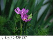 Купить «Лимонница, или крушинница (Gonepteryx rhamni) на цветке Космеи (Cosmos)», эксклюзивное фото № 5439857, снято 6 июля 2011 г. (c) lana1501 / Фотобанк Лори