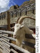 Купить «Козёл у деревянного забора», фото № 5442681, снято 7 июля 2013 г. (c) Федюнин Александр / Фотобанк Лори