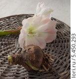Купить «Луковичные растения и цветок hippeastrum (amarillis)», фото № 5450293, снято 3 декабря 2013 г. (c) Олеся Сарычева / Фотобанк Лори